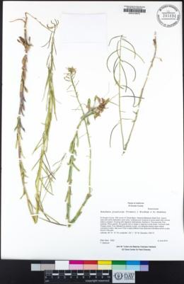 Boechera pinetorum image