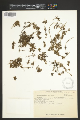 Nertera granadensis image