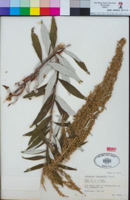 Image of Artemisia suksdorfii