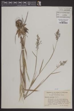 Image of Panicum spretum