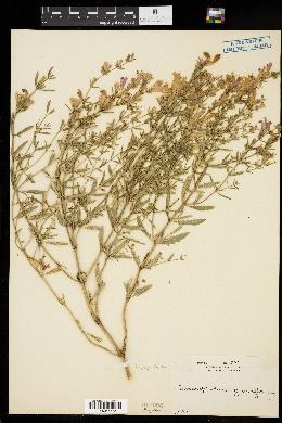 Image of Dracocephalum grandiflorum