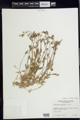 Cerastium beeringianum image