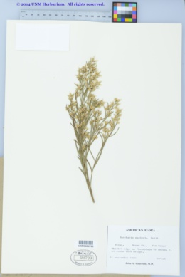 Image of Baccharis neglecta