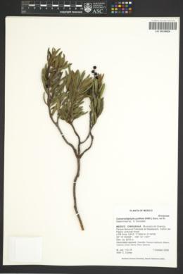 Comarostaphylis polifolia image