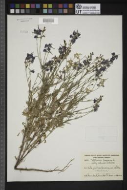 Delphinium peregrinum image