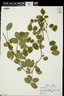 Image of Nissolia microptera
