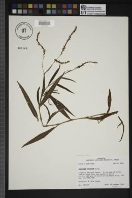 Persicaria setacea image