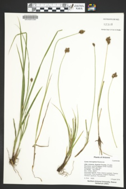 Carex microptera image