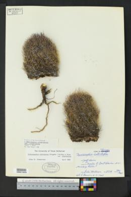 Echinomastus intertextus image
