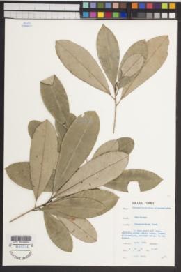 Image of Bequaertiodendron oblanceolatum