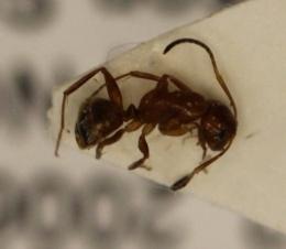 Image of Camponotus snellingi