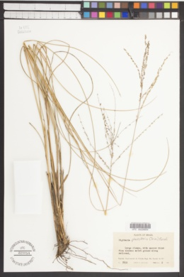 Image of Digitaria phaeothrix
