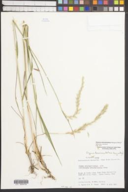 Elymus breviaristatus image