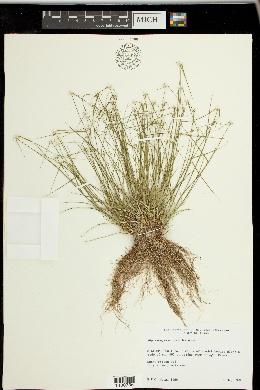 Image of Rhynchospora nivea