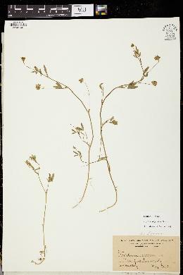Trifolium oliganthum image