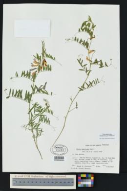 Vicia americana image