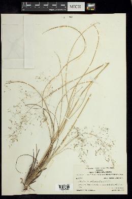 Image of Muhlenbergia lucida
