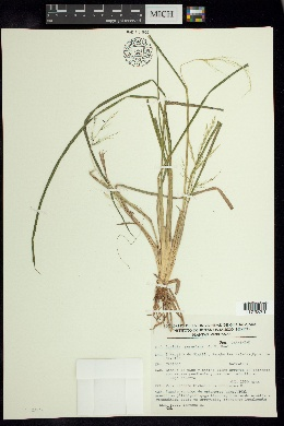 Luziola peruviana image