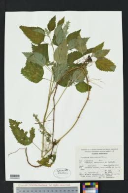 Image of Teucrium vesicarium