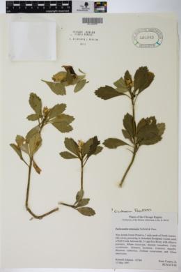 Pachysandra terminalis image