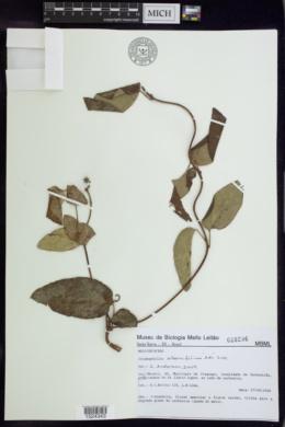 Image of Stigmaphyllon alternifolium