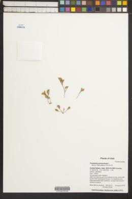 Image of Frankenia pulverulenta