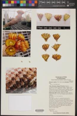 Eriosyce napina var. duripulpa image