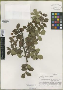 Rhus chondroloma image
