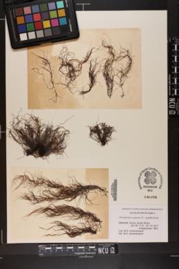 Chordariopsis capensis image