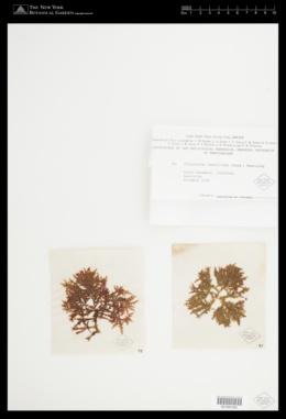 Phitymophora amansioides image