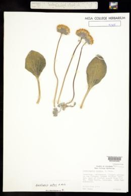 Encelia nutans image