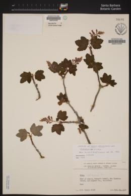 Image of Ribes malvaceum