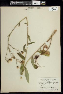 Image of Hieracium scabriusculum