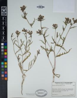 Mentzelia albicaulis image