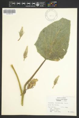 Cucurbita foetidissima image
