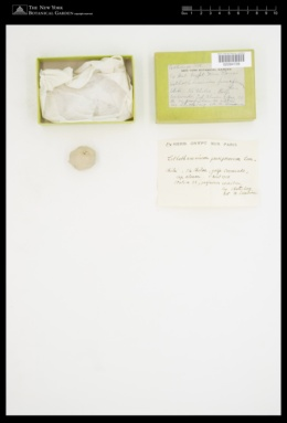 Image of Lithothamnion pauciporosum