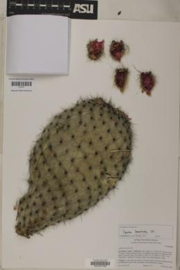 Image of Opuntia leucotricha