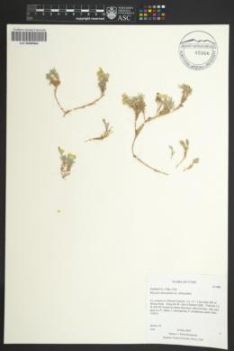 Physaria rubicundula image