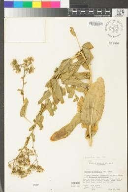 Acourtia microcephala image