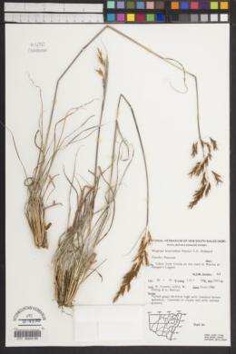 Image of Sorghum leiocladum