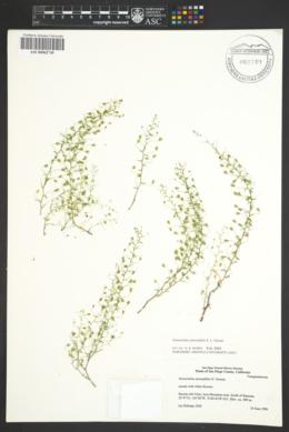 Image of Nemacladus pinnatifidus