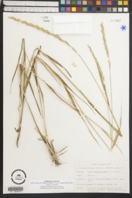 Image of Pseudoroegneria deweyi