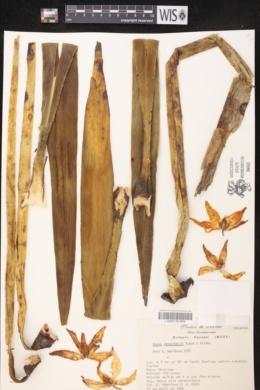 Image of Yucca lacandonica