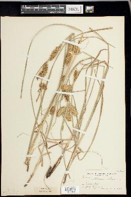 Carex retrorsa image