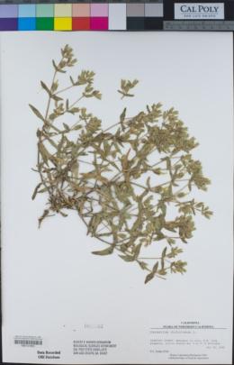 Cerastium dichotomum image
