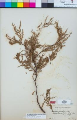 Cupressus funebris image