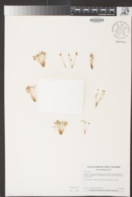 Juncus kelloggii image