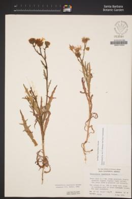 Image of Malacothrix insularis