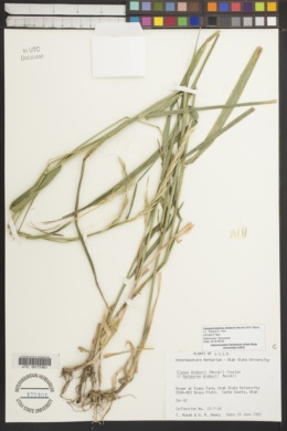 Image of Campeiostachys drobovii