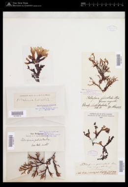 Pollexfenia pedicellata image